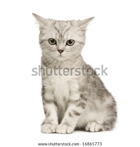 Siberian cat (12 weeks) in front of a white background