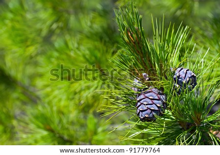 Siberian cedar. Background of young pine cones. - stock photo