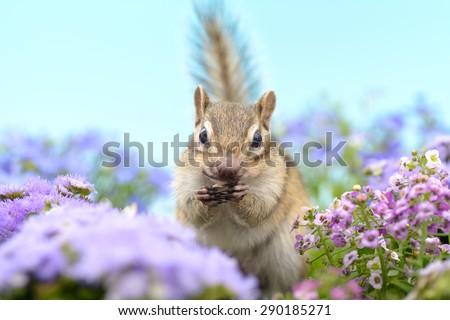 Siberian Chipmunk eating a sunflower in flower garden. - stock photo
