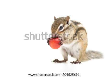 Siberian Chipmunk eating cherry. - stock photo