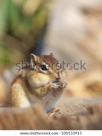 Siberian Chipmunk eating sunflower seeds on the fallen tree - stock photo