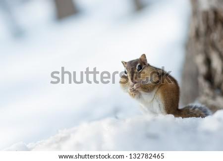 Siberian Chipmunk in Winter - stock photo