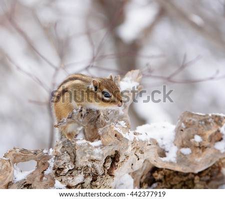 Siberian Chipmunk in Winter Forest. - stock photo