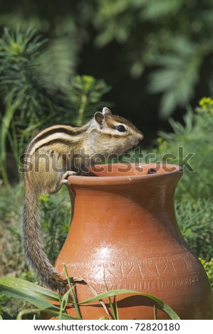 Siberian Chipmunk on side of clay vase in grass garden - stock photo