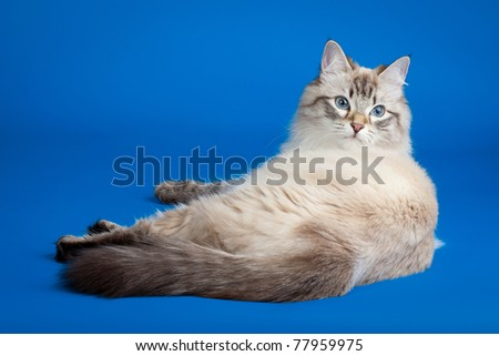 Siberian color point cat on blue background - stock photo
