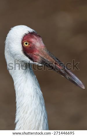 Siberian crane - stock photo