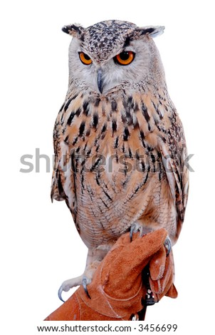 siberian eagle owl, or bubo bubo sibiricus, held by his handler - stock photo