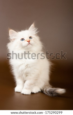 Siberian forest kitten sitting and looking up - stock photo