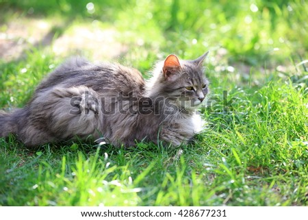 Siberian gray cat lying on the grass