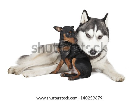 Siberian Huskies and pinscher on a white background - stock photo