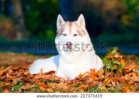 Siberian Huskies in park,  autumn - stock photo