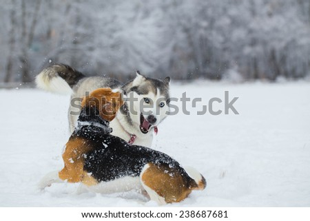 Siberian husky and beagle. Siberian husky and beagle playing on snow field. - stock photo