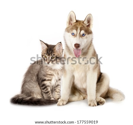 Siberian Husky and cat breeds Maine Coon, Cat and dog - stock photo