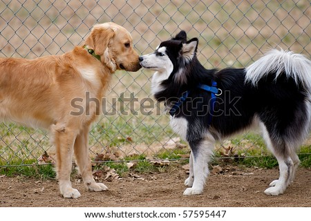 Siberian Husky and Golden Retriever dogs sniffing at each other. - stock photo