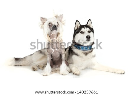 Siberian Husky and the Chinese Crested Dog - stock photo