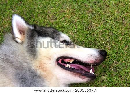 Siberian Husky are tired - stock photo