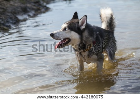 Siberian Husky bathes in the cool water of the river.