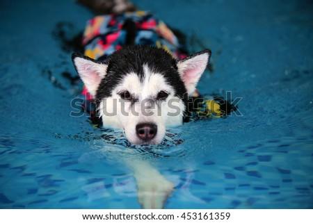 Siberian husky black and white colors wear life jacket swim in swimming pool, dog swimming, happy dog, dog activity, dog wet - stock photo