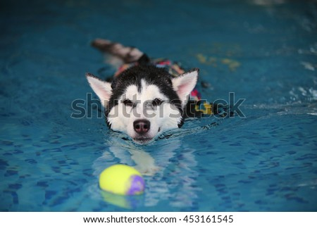 Siberian husky black and white colors wear life jacket swim in swimming pool with ball toy, dog swimming, happy dog, dog activity, dog wet - stock photo