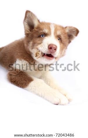 Siberian Husky chewing bone - stock photo