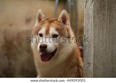 Siberian husky dog bathing behind the wall, dog bathing, happy dog, dog wet - stock photo