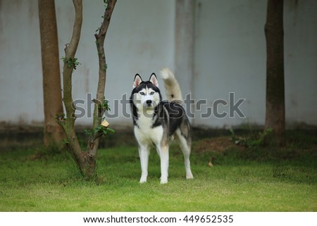 Siberian husky dog black and white colors with blue eyes on grass field in sunshine day, dog activity, dog in the park - stock photo