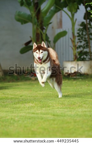 Siberian husky dog copper and white colors jumping in grass field, dog running, dog activity, happy dog, dog in the park - stock photo