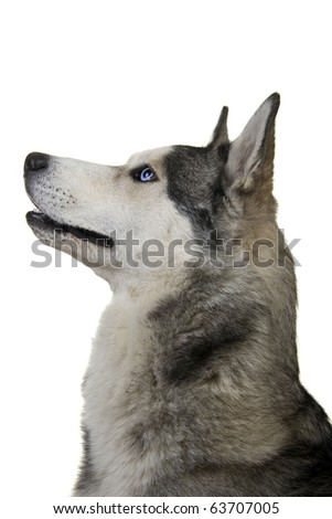 Siberian husky dog isolated on a white background