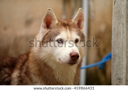 Siberian husky dog light red and white colors bathing, dog activity, dog portrait, dog bathing - stock photo