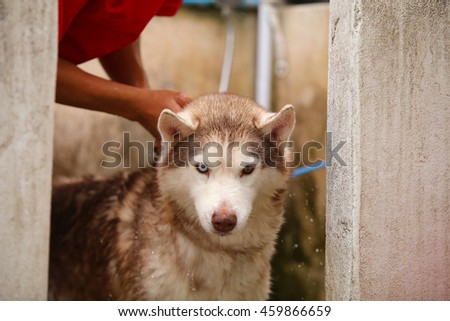 Siberian husky dog light red and white colors bathing, dog activity, dog portrait, dog bathing, dog wet - stock photo
