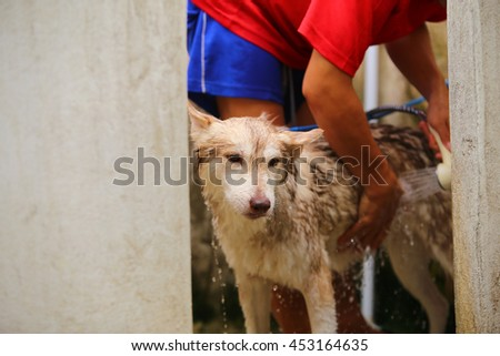 Siberian husky dog light red and white colors bathing, dog bathing, cleaning dog, dog wet, dog grooming - stock photo
