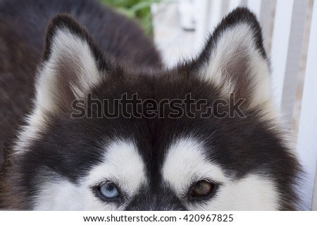 Siberian husky dog look at my eyes