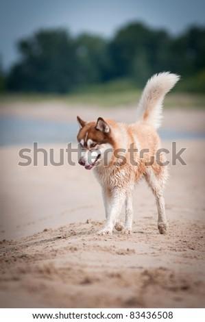 Siberian husky dog on the beach - stock photo