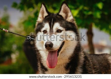 Siberian husky dog outdoors. Portrait of a  husky dog. Close-up. - stock photo