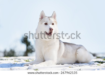 siberian husky dog portrait - stock photo