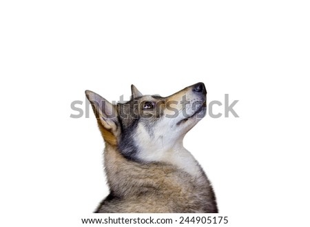 Siberian Husky dog Portrait looking up  isolated on yellow background.