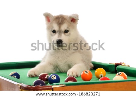 Siberian husky dog puppy on pool table isolated on white background  - stock photo