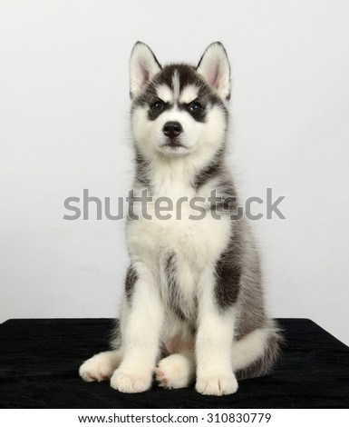 Siberian husky dog puppy sits, isolated on greybackground. - stock photo