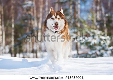 siberian husky dog running in winter - stock photo