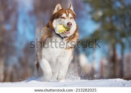 siberian husky dog runs outdoors - stock photo