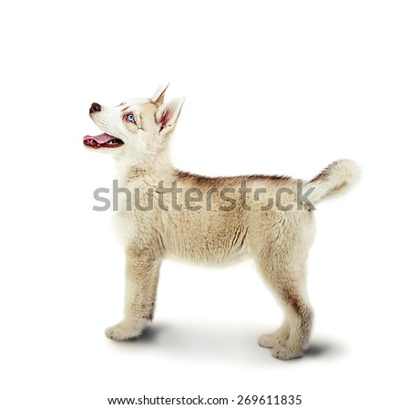 Siberian Husky dog stay on a white background in studio. Puppy age 2 months - stock photo