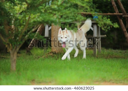 Siberian husky dog walking in grass field, fluffy dog, happy dog, dog activity, dog in the park - stock photo