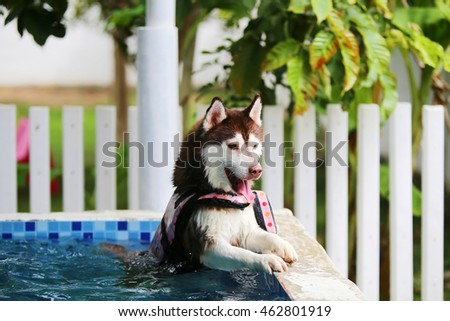 Siberian husky dog wear life jacket in swimming pool, dog swimming, fluffy dog, happy dog, dog activity