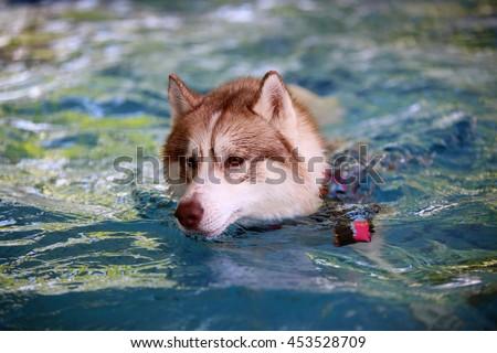 Siberian husky dog wear life jacket swim in swimming pool, dog swimming, dog activity, happy dog - stock photo