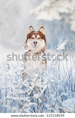 siberian husky dog winter portrait - stock photo