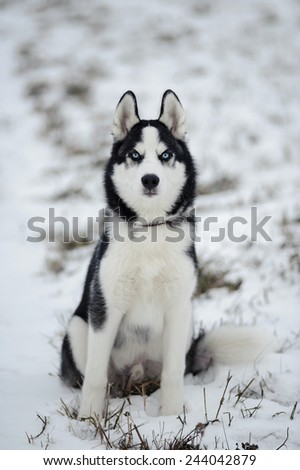 siberian husky dog with blue eyes outdoor in winter - stock photo