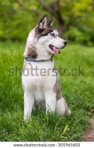 Siberian husky dog with blue eyes sits and looks aside. Bright green trees and grass are on the background.