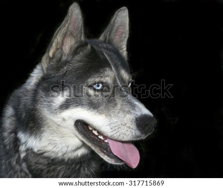 Siberian Husky domestic dog with blue eyes isolated on black background mouth open teeth and tongue showing - stock photo