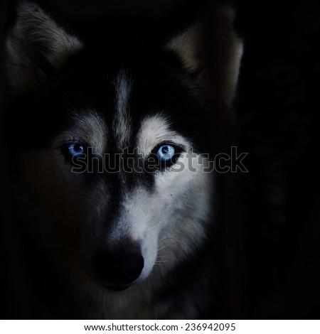 Siberian husky face on a black background. - stock photo