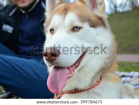siberian husky for a walk in the park